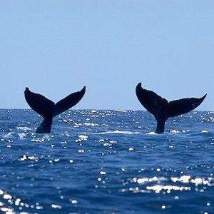 Whale-Spotting in Dominica