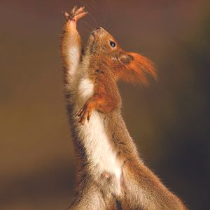 2. Red Squirell
