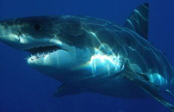 3. Shark