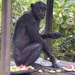 Oldest Chimpanzee