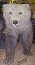 4. Grizzly Bear + Polar Bear (Sow) = Grolar Bear