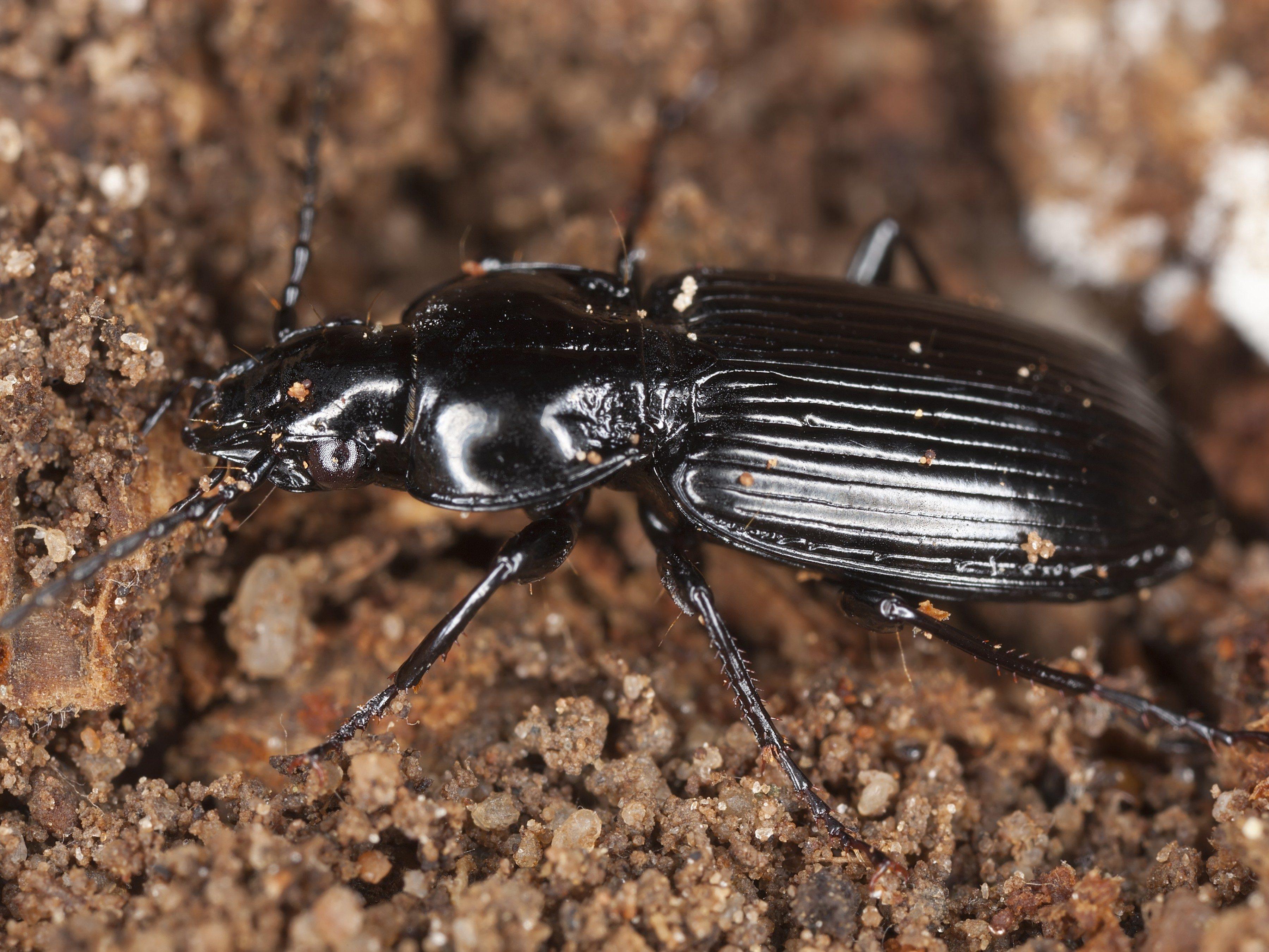 3. Ground Beetles
