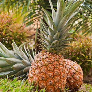 9. It Has the World's Freshest Pineapples