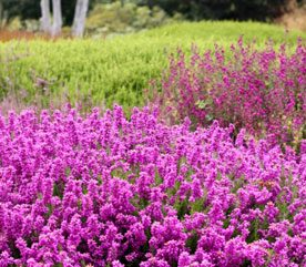 Backyard Landscaping Ideas: Planning a Heather Garden