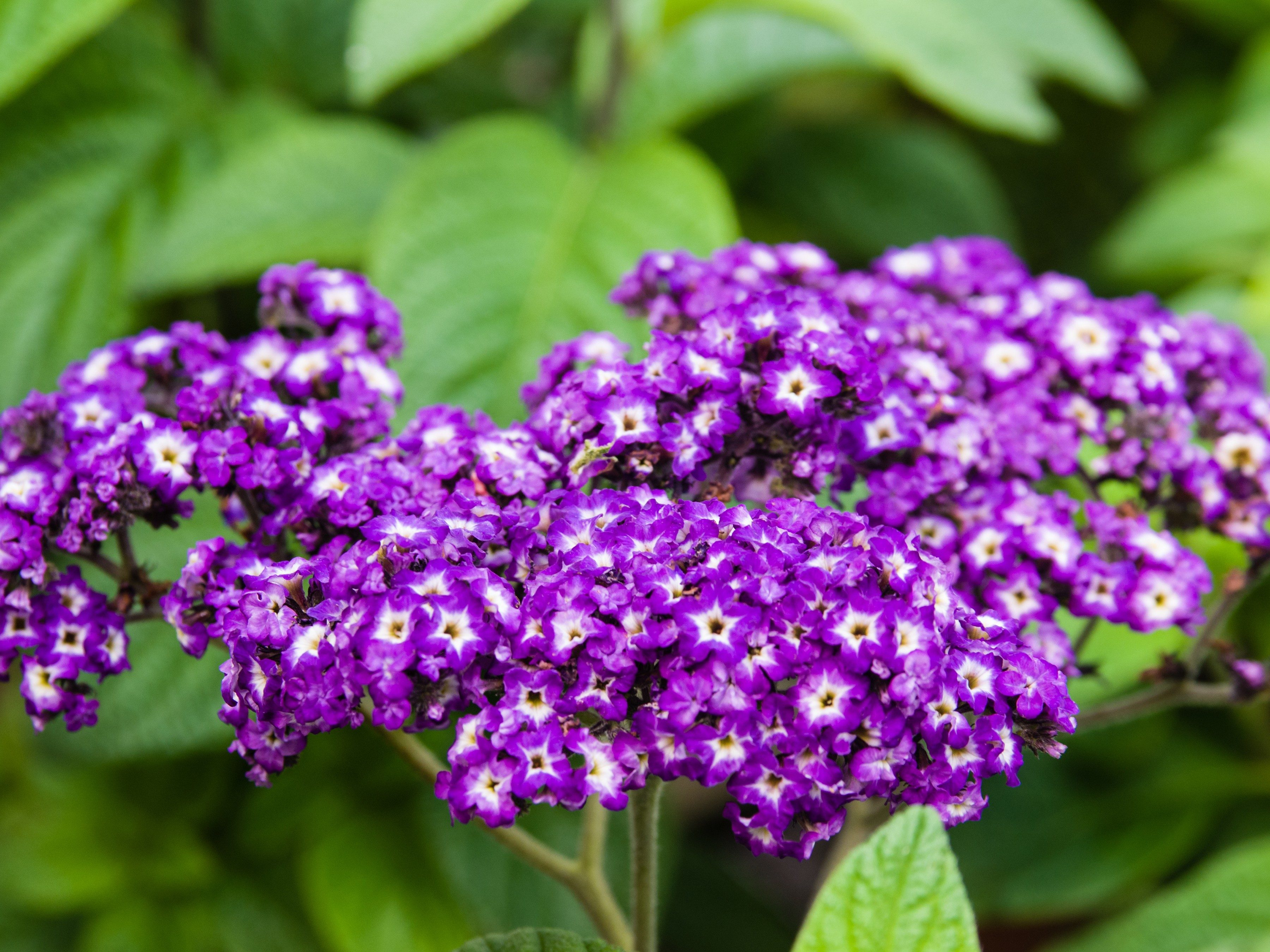 8 annuals that are perfect for container gardening 8 heliotrope izmirmasajfo
