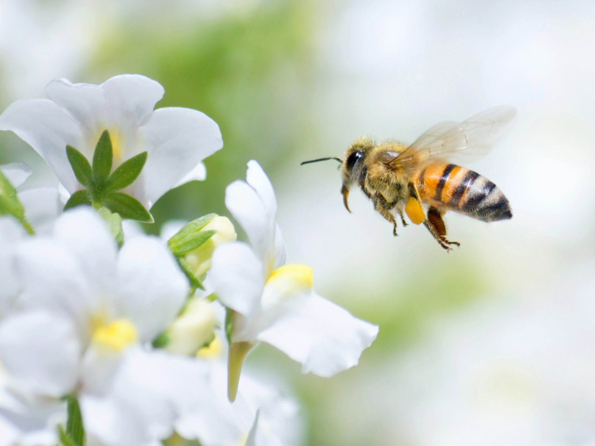7. Bumblebees, Honeybees, Mason Bees