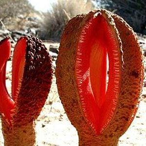 9. Hydnora Africana