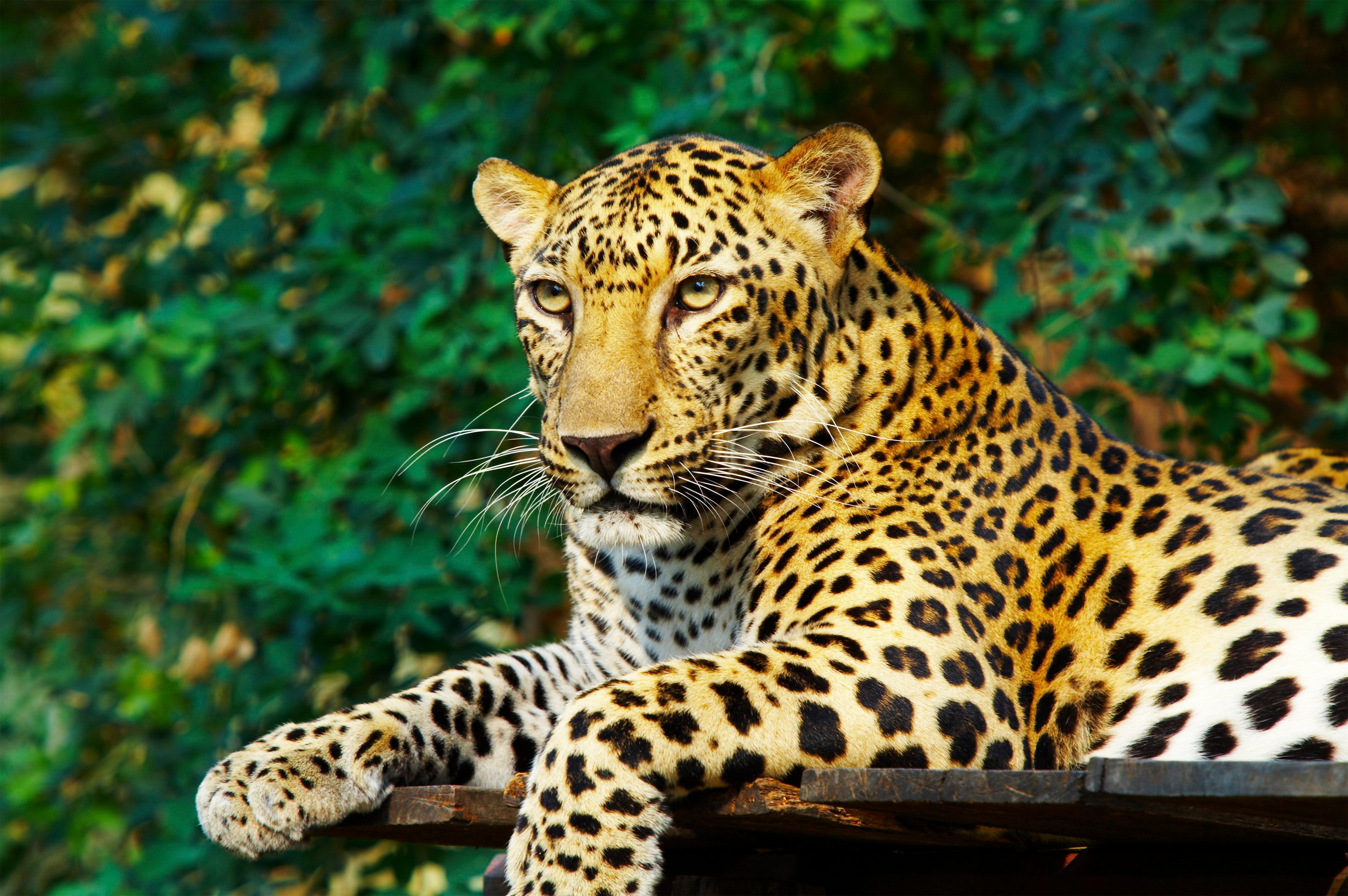 5. The Leopard is the Most Widespread Member of the Cat Family