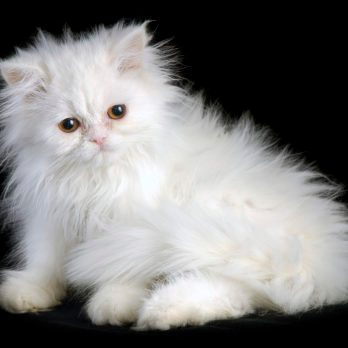 The Best Cat Breed for You