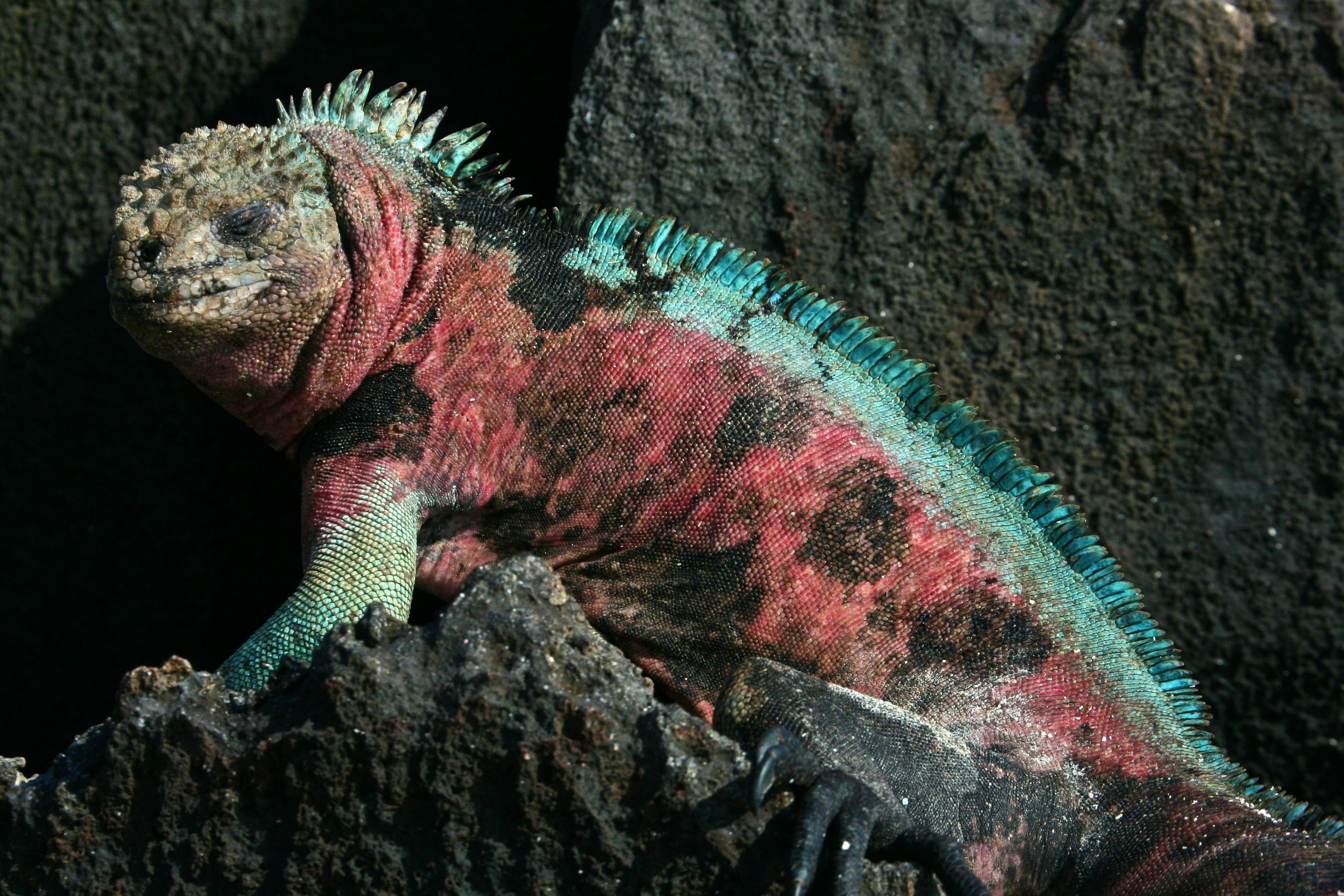 3. The Marine Iguana Can Hold Its Breath for 15 Minutes