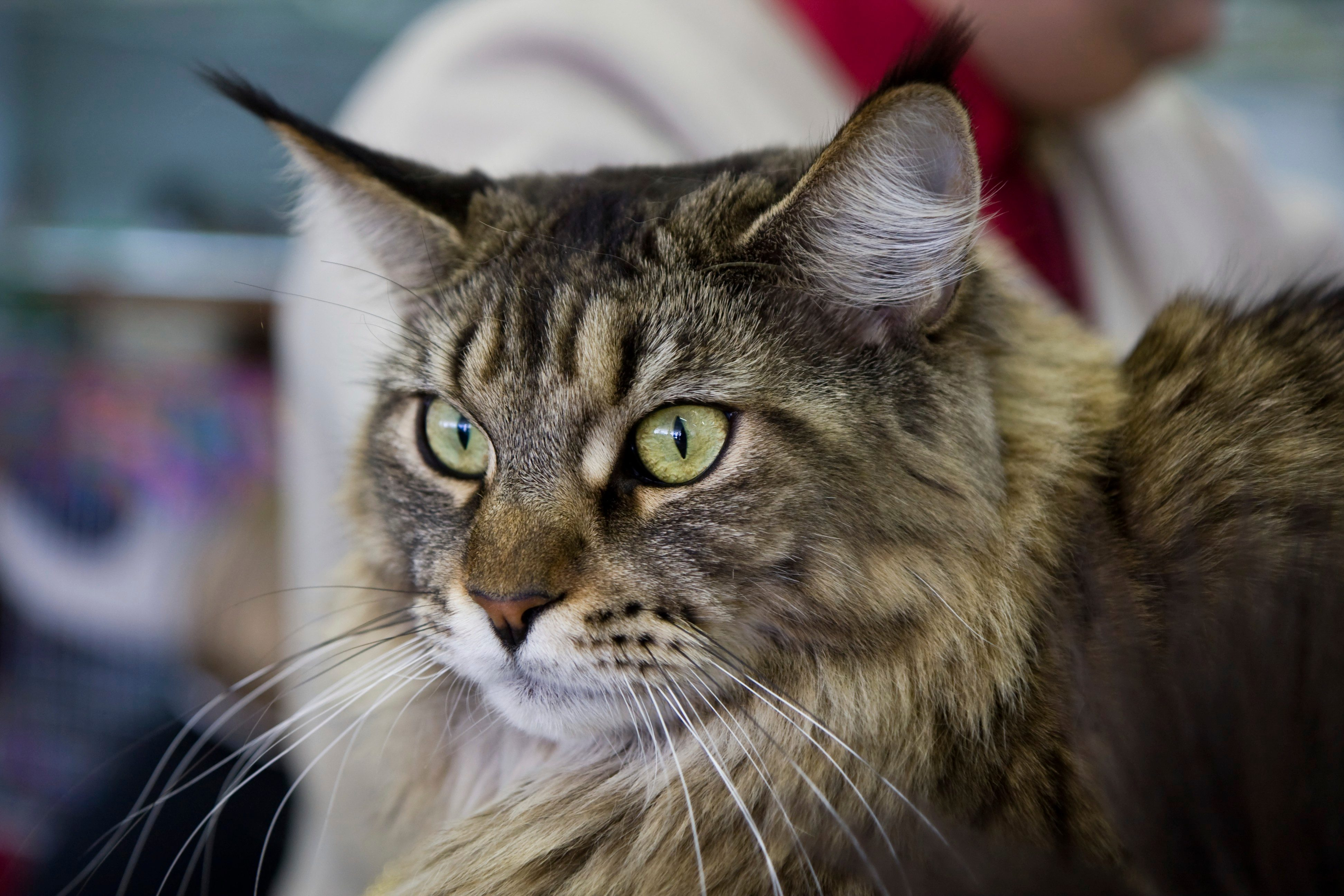 How Big Can Maine Coon Cats Get