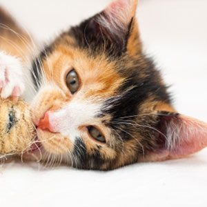 What Does Fur Colour Say About a Calicos Personality?
