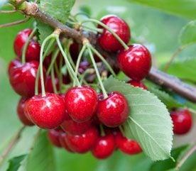 7. Cherries