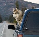 Why Do Dogs Put Their Head Out the Window?