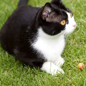 Tuxedo Cats and What Their Fur Colour Means