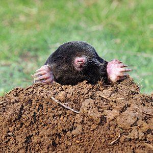 5. Repel Moles