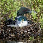 Layar Fun: Loons, Geese and the Arts