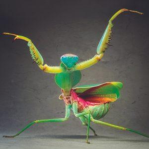 3. Malaysian Praying Mantis