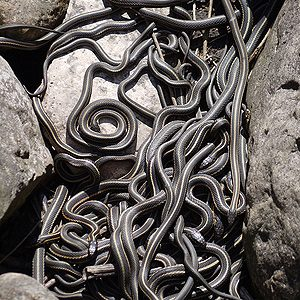 2. Strange Places in Canada: Most Snakes at a Glance, Narcisse, Manitoba