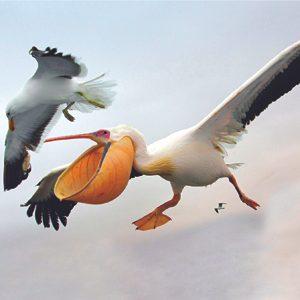 5. Pelican