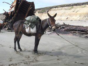 7. Horse (Mare) + Donkey (Jack) = Mule