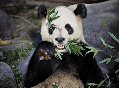 Pandamonium: Behind The Scenes At The Toronto Zoo