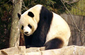 9. Panda