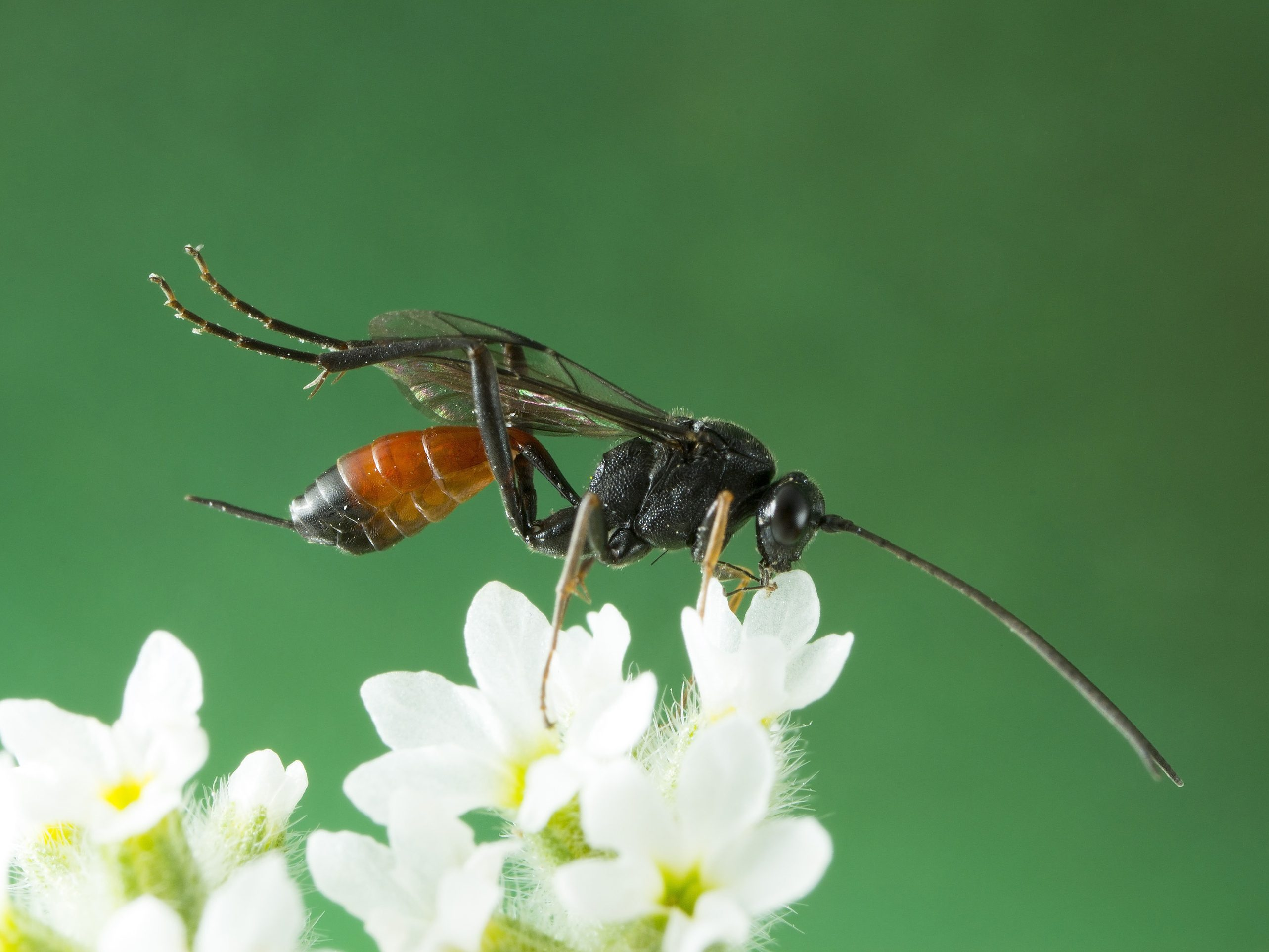 6. Parasitic Wasps