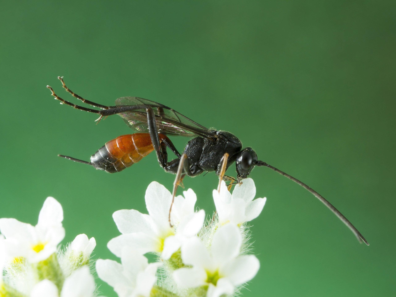6. Parasitic Wasps