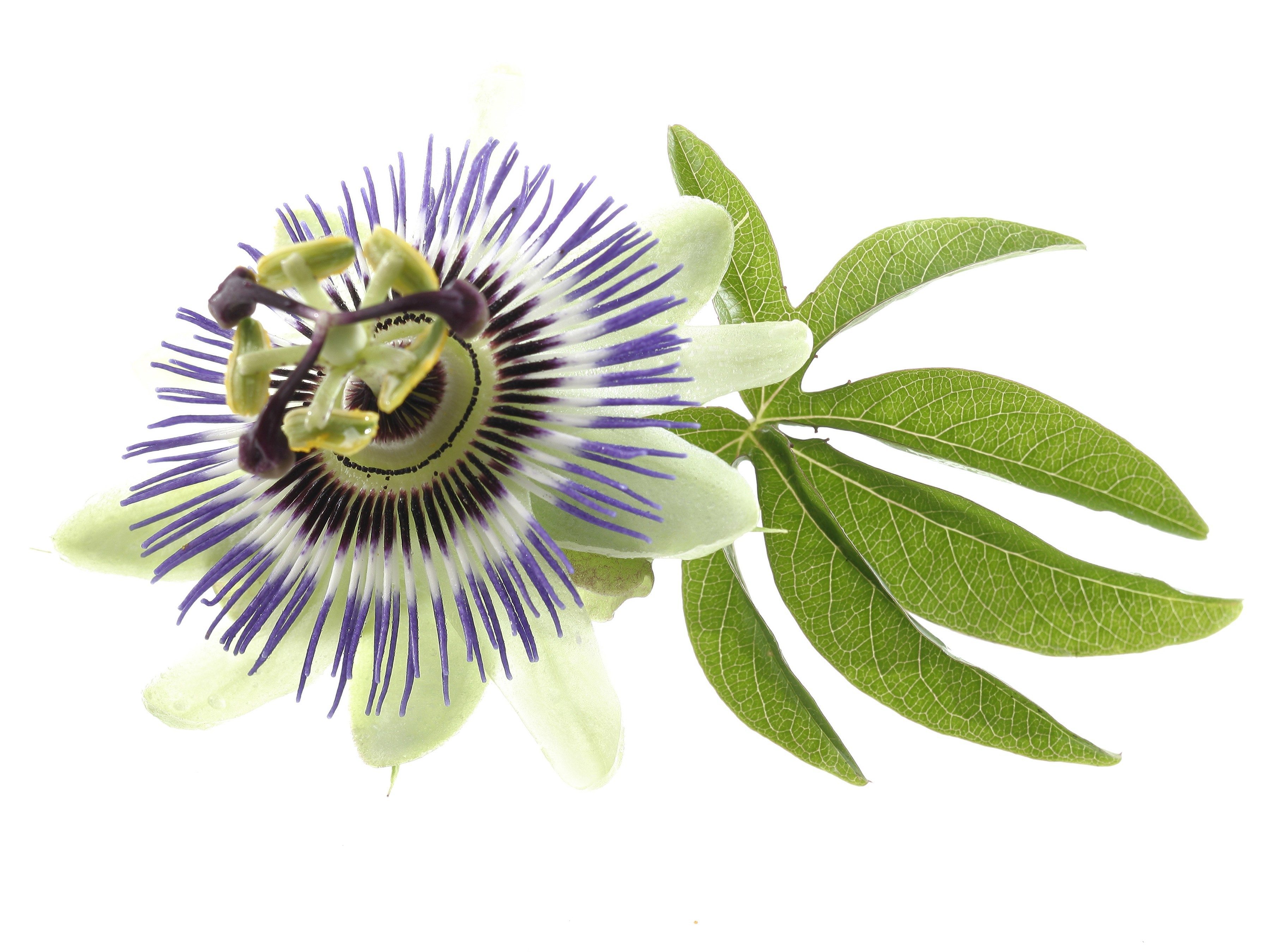 4. Passionflower