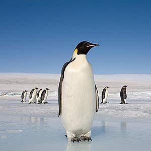 7. Penguins Travel Great Distances on Land