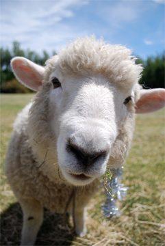 Kiwi Lamb