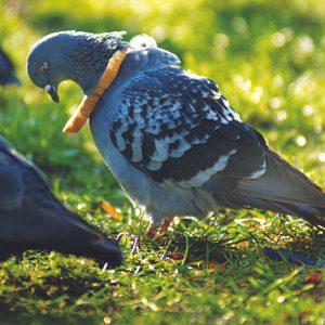 6. Pigeon