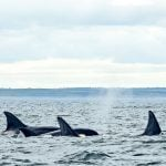 Killer Whales: The Arctic's Next Top Predator?