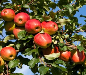 Landscaping Tips: How to Grow Apples in Your Yard