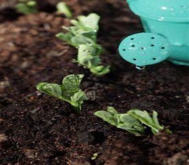How to Grow Peas in Your Garden