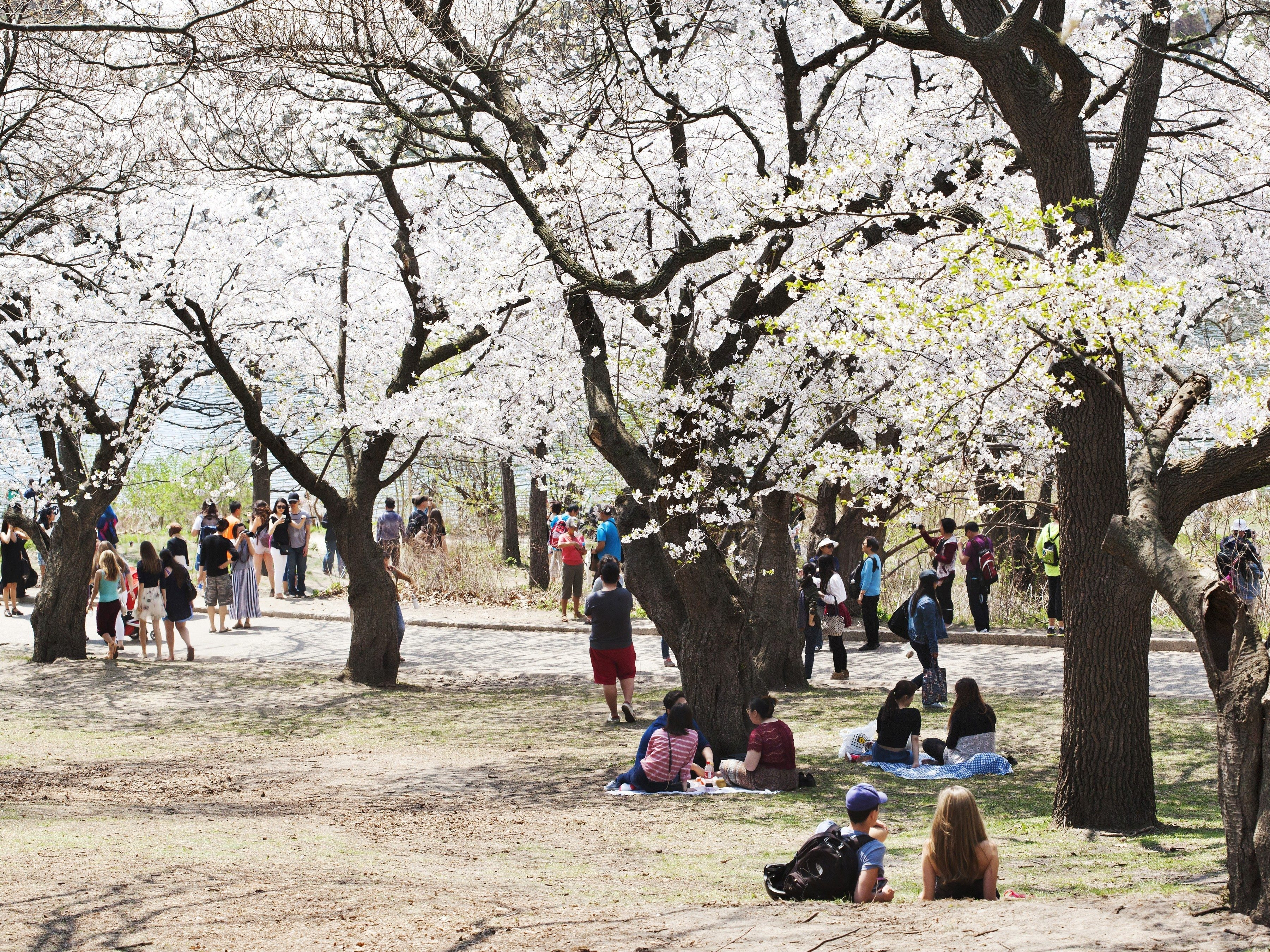 9. High Park's cherry blossoms
