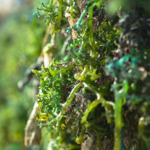 Seaweed Soil Conditioner