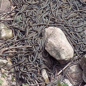 1. You Can See More Snakes in Winnipeg Than Anywhere Else
