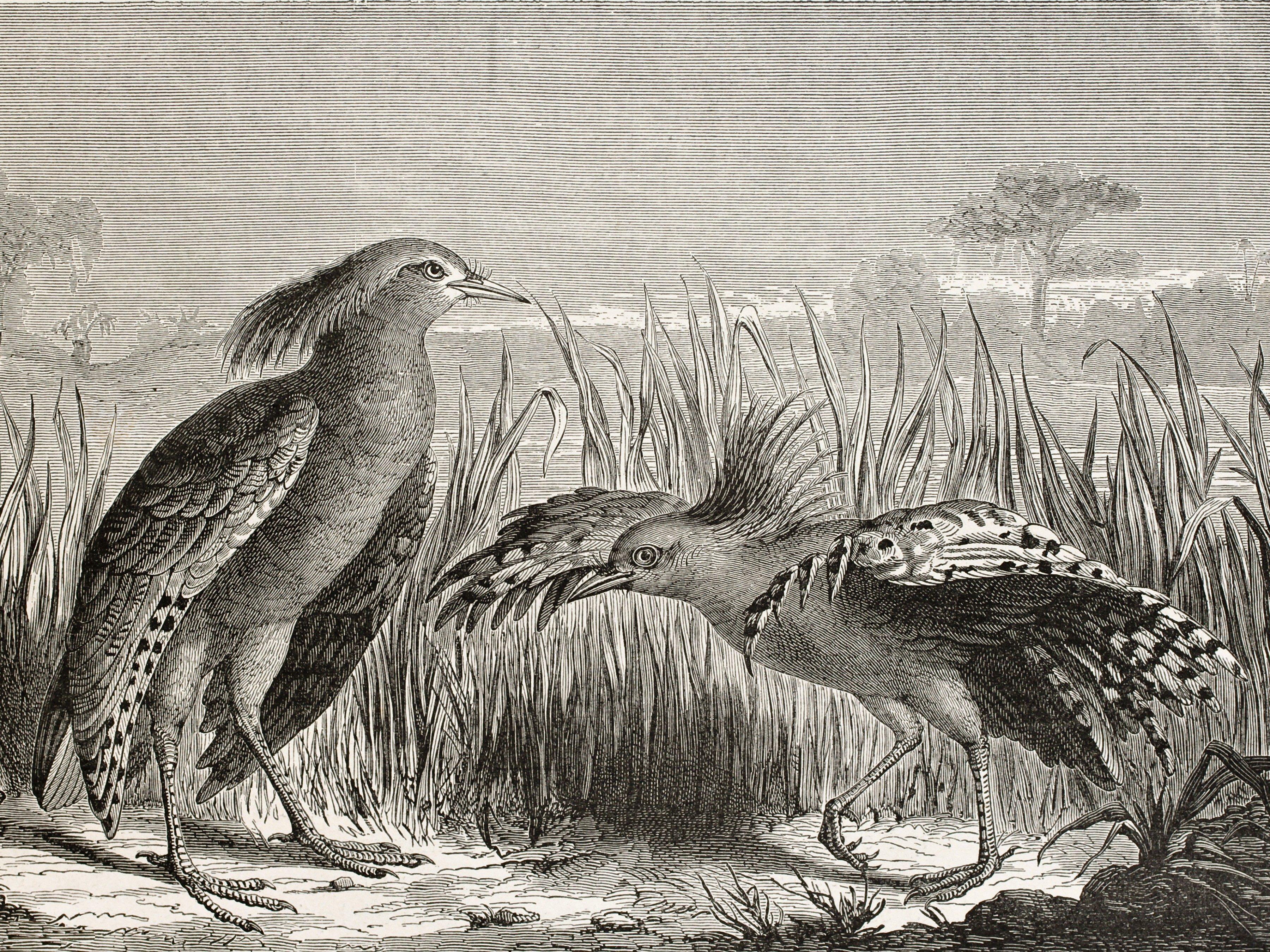 World's Strangest Birds: Kagu