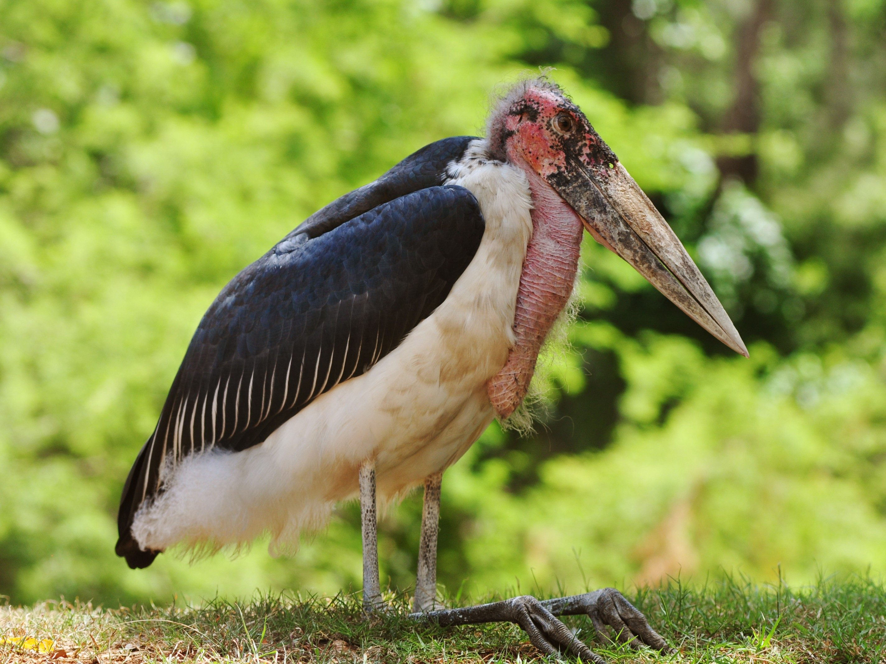 World's Strangest Birds: Marabou Stork
