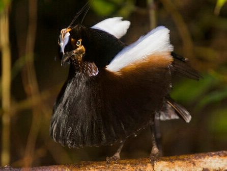 World's Strangest Birds: Western Parotia