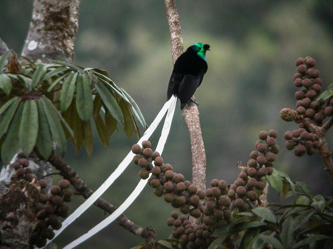 World's Strangest Birds: Ribbon Tailed Astrapia