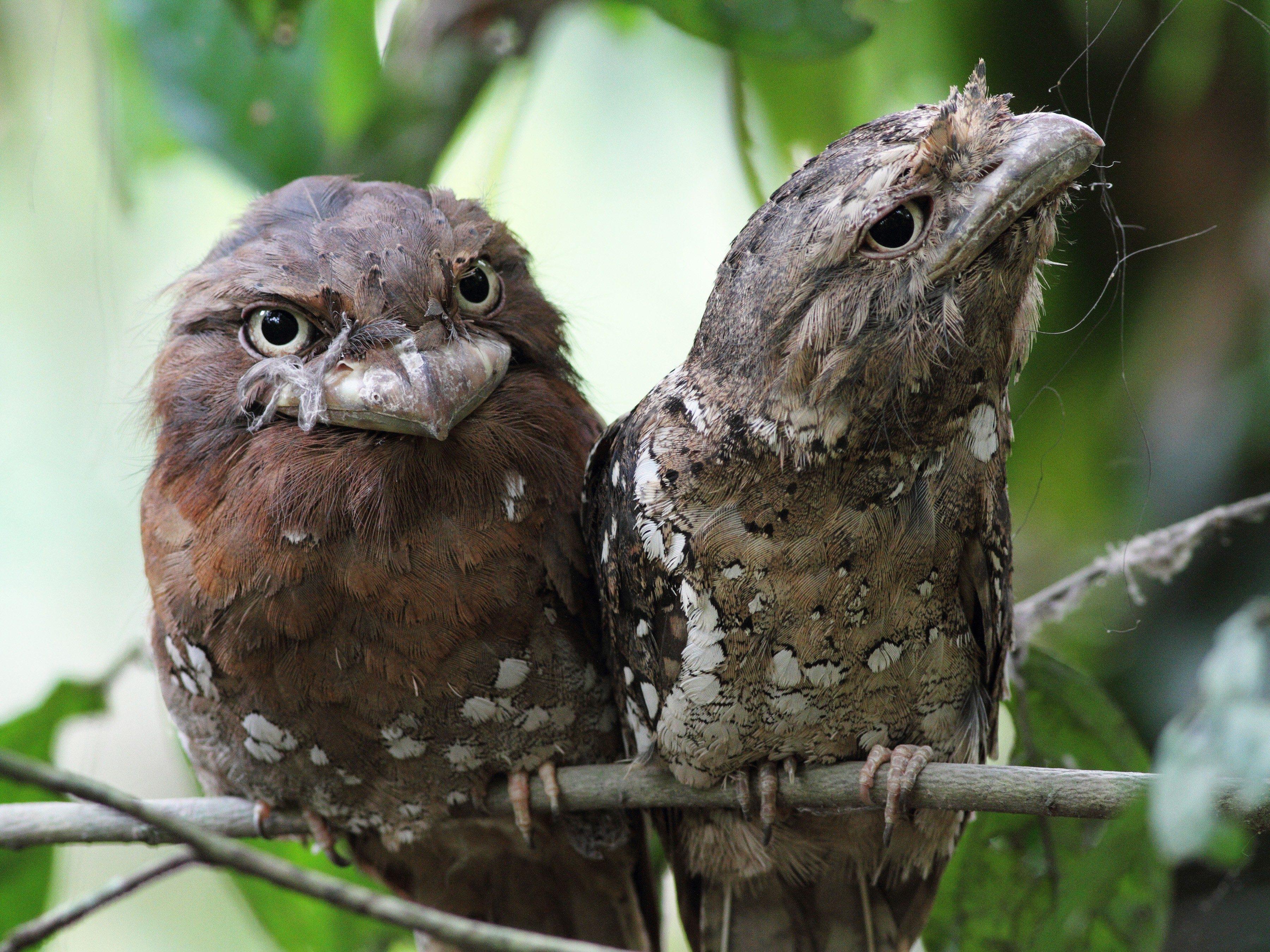 World's Strangest Birds: Sri Lanka Frogmouth