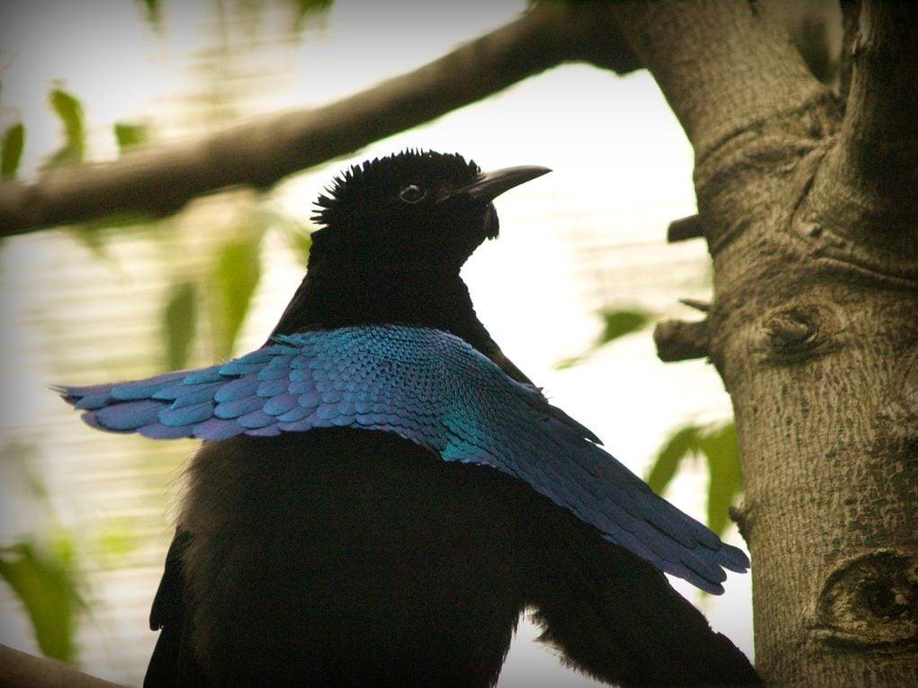 World's Strangest Birds: Superb Bird of Paradise