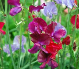 Learn About Growing Sweet Peas