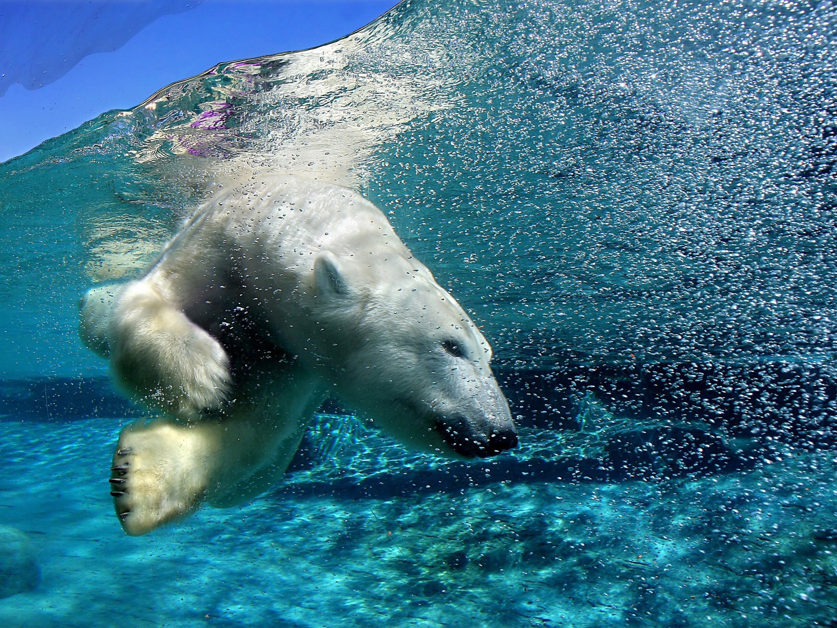 6. You Can Swim with a Polar Bear