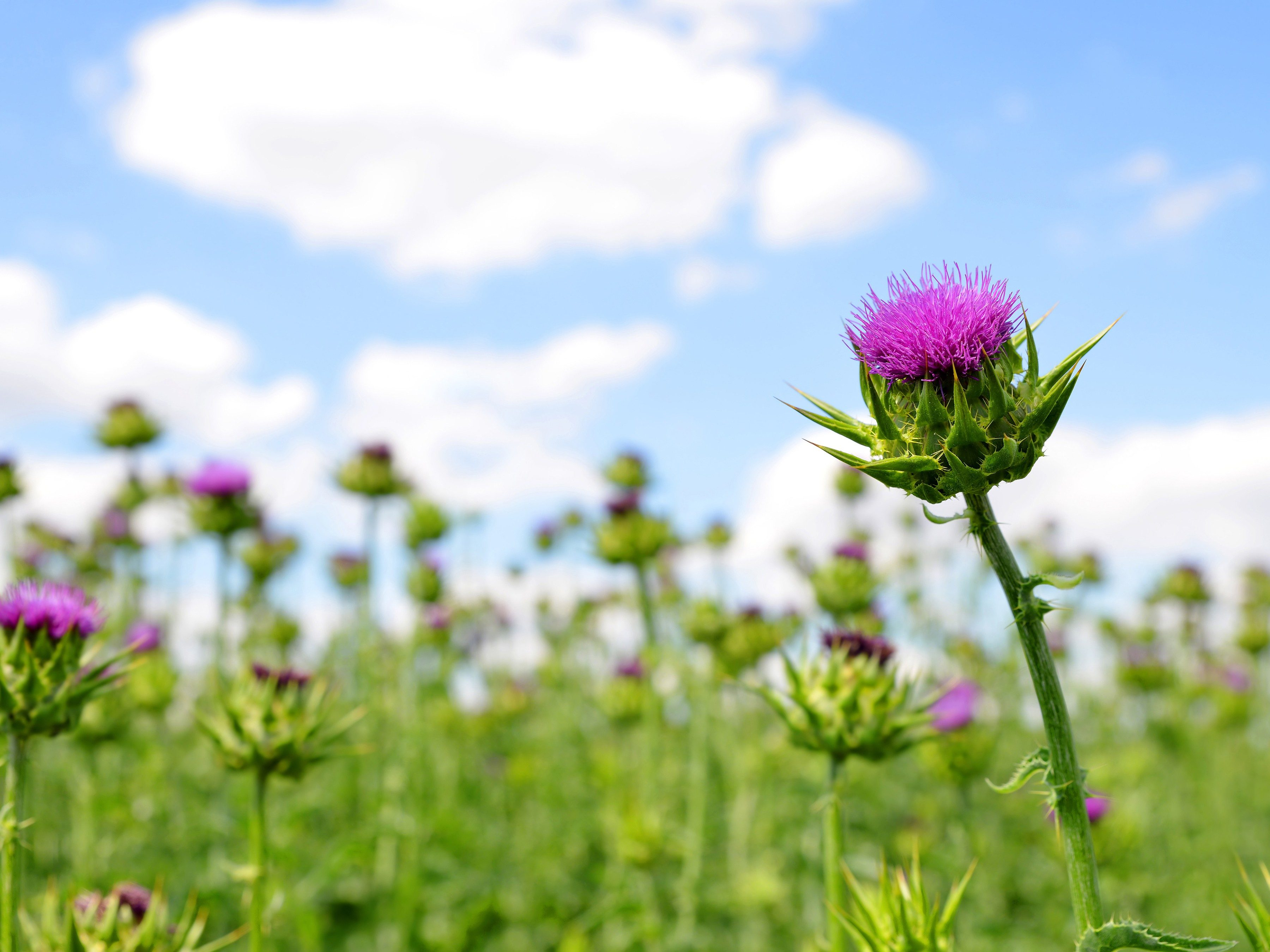 6. Take milk thistle in the lead up to a big party