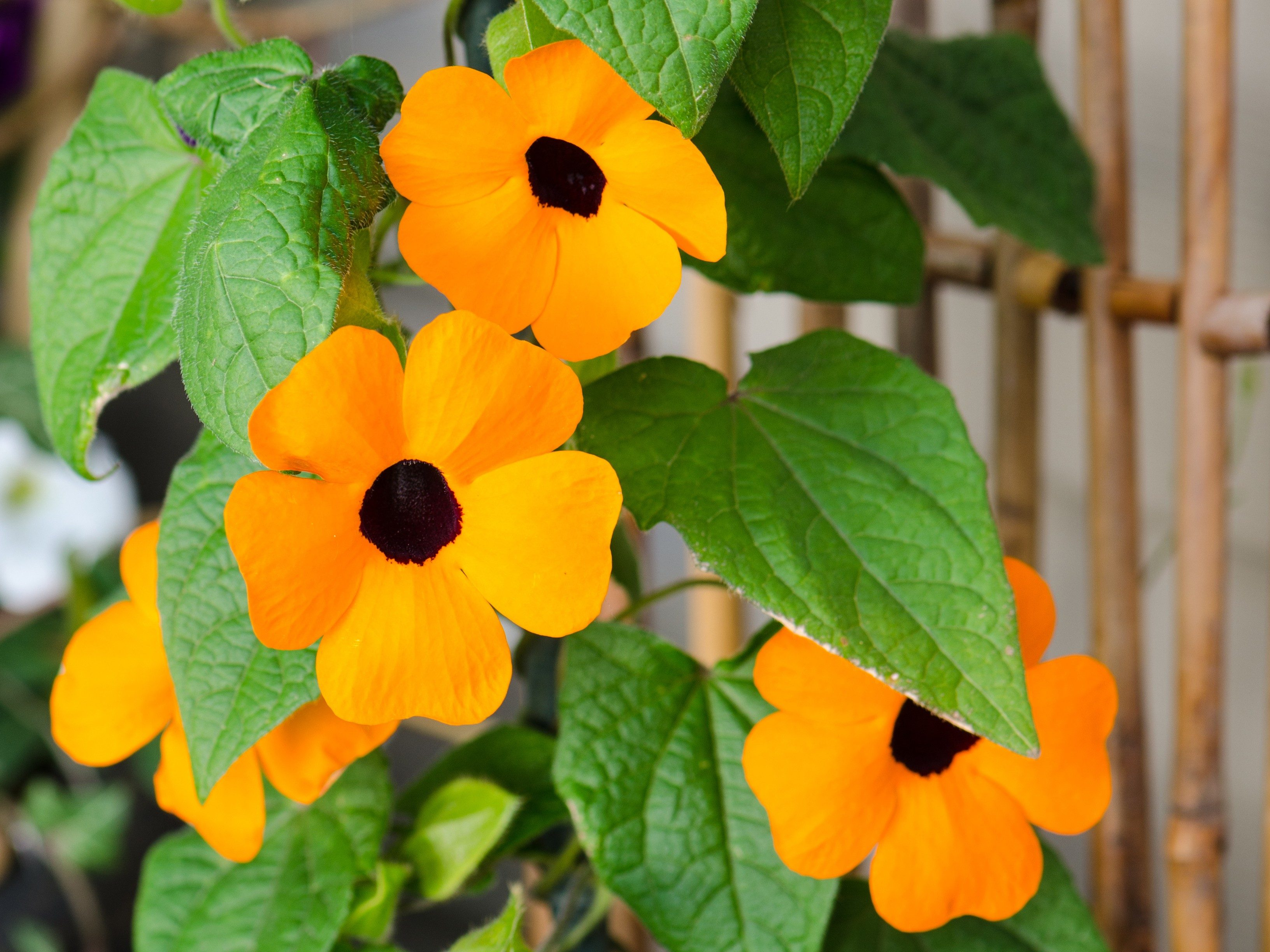 8 annuals that are perfect for container gardening 1 thunbergia black eyed susan vine izmirmasajfo Images
