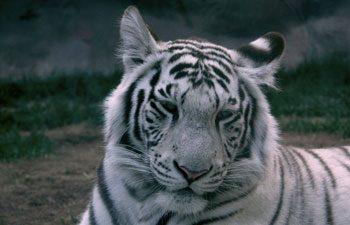 6. Tiger